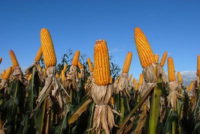 Atrasos no plantio do milho geram impacto em diversos estados