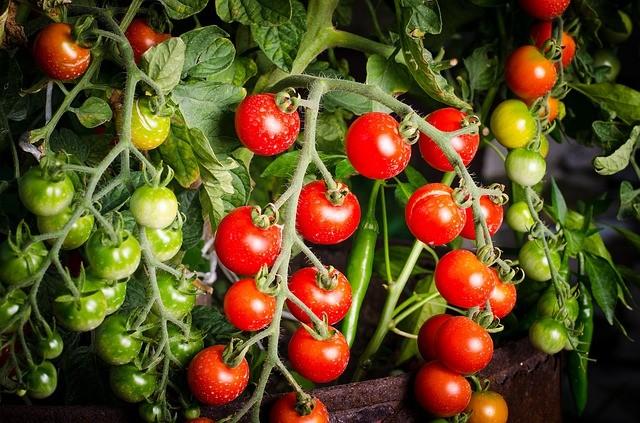 Chuva atrapalha produção e o tomate volta a subir de preço no Paraná