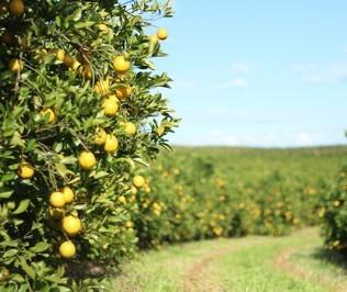 Safra de laranja no Paraná é 30% maior que a safra passada