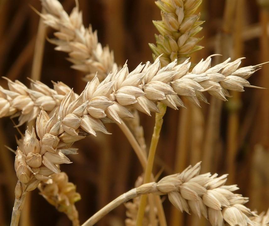 Paraná tem potencial especial para a cultura do trigo