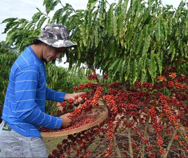 Relatório indica que produção de café deve atingir recorde