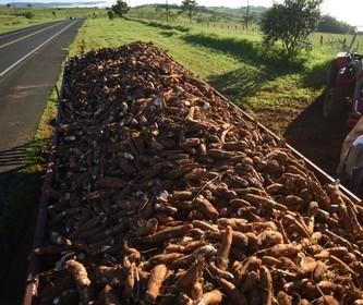Tonelada da raiz de mandioca custa R$ 400 em Campo Mourão e Umuarama