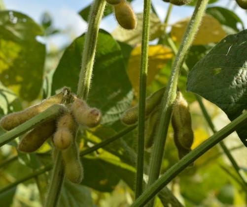 BR: FCStone aumenta estimativa diária plantada de soja em 0,27% para safra 2019/20