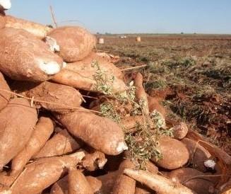 Raiz de mandioca custa R$ 350 a tonelada em Umuarama