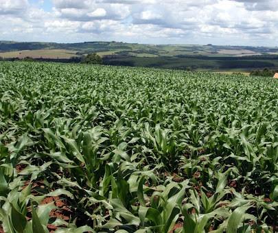 Estiagem prejudica lavouras de milho no PR e produtores ficam divididos