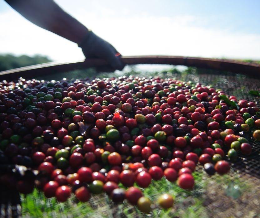 Produção está abaixo do consumo mundial de café