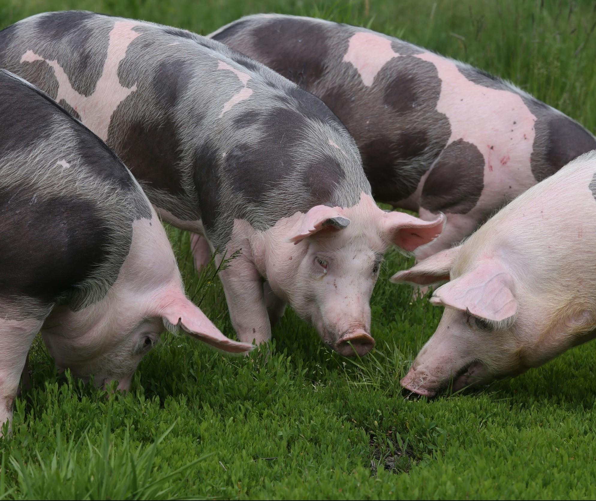 Preço do suíno aumenta em todas as regiões do Paraná
