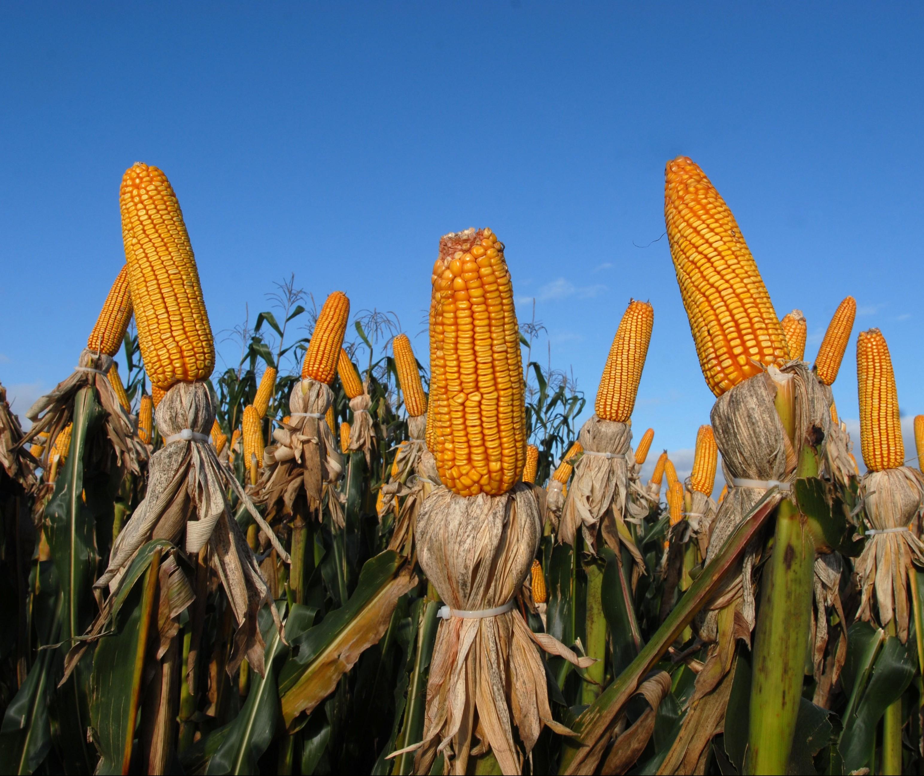 Colheita do milho 2ª safra avança 25% no Paraná