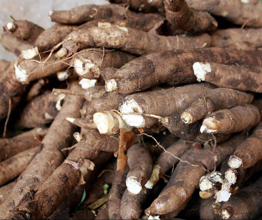 Tonelada da raiz de mandioca custa R$ 377 em Paranavaí