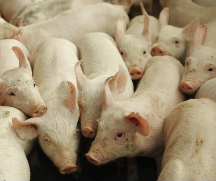 Exportação de suínos atingem 63 mil toneladas em outubro