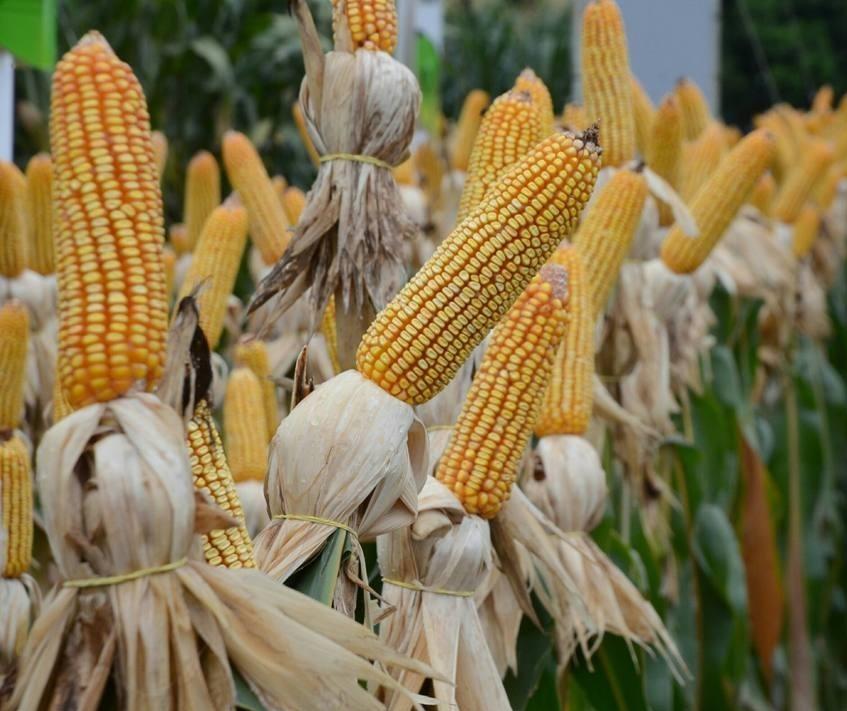 Produção brasileira de milho atingirá nível recorde no ciclo 2018/19