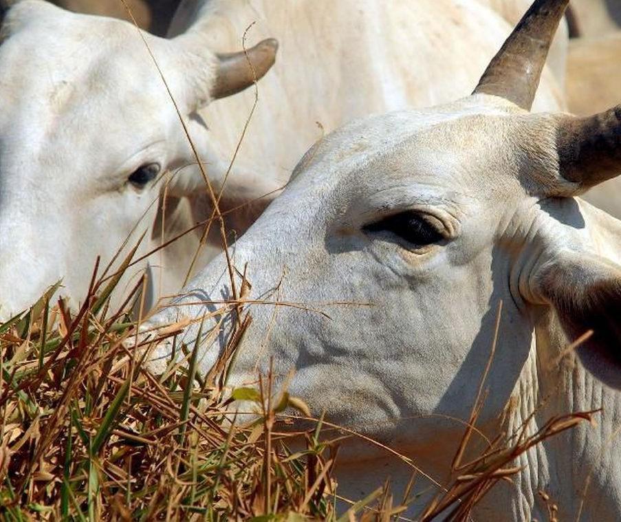 IBGE: cresce abate de bovinos, suínos e frangos