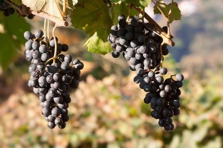 Começa a colheita da uva em Marialva