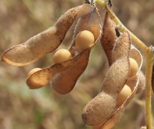 Tempo instável influência diretamente na cultura da soja