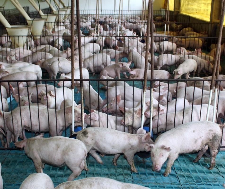 Mercado de suíno, vive um momento atípico para época do ano