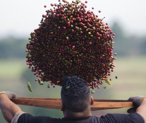 Colheita do café é encerrada no Paraná