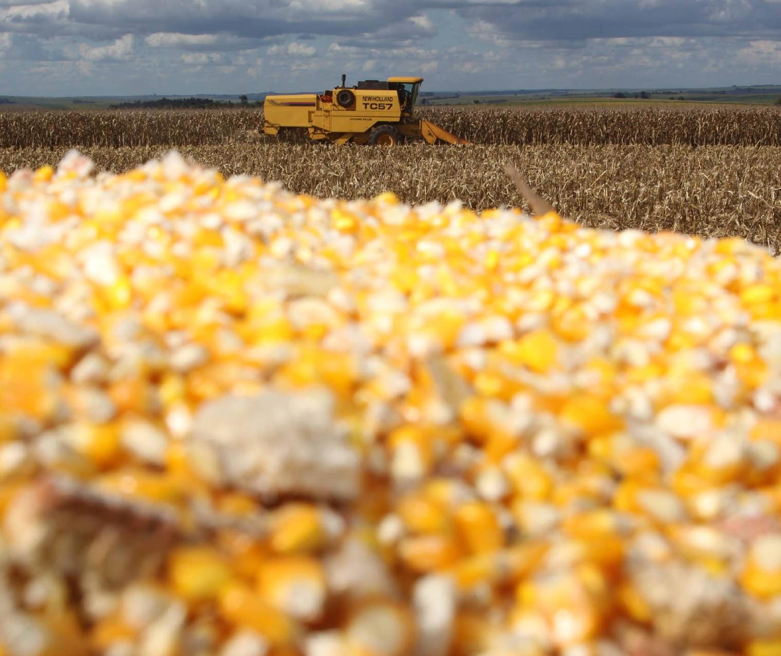 Estoques de milho brasileiro encontram-se pressionados