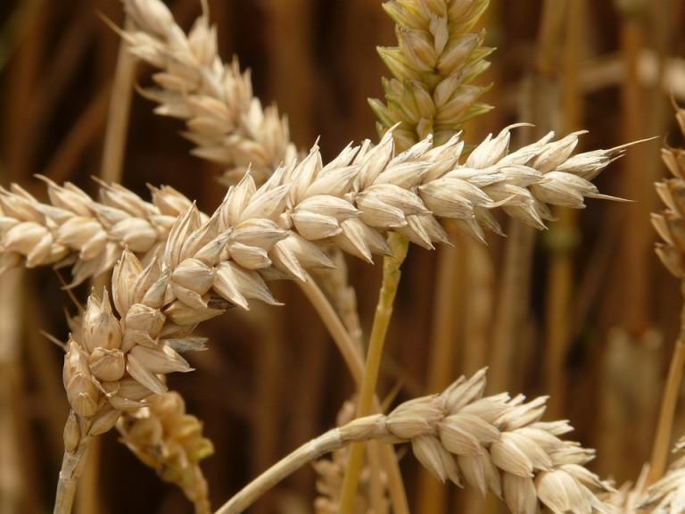 Preço do trigo em grão está em alta