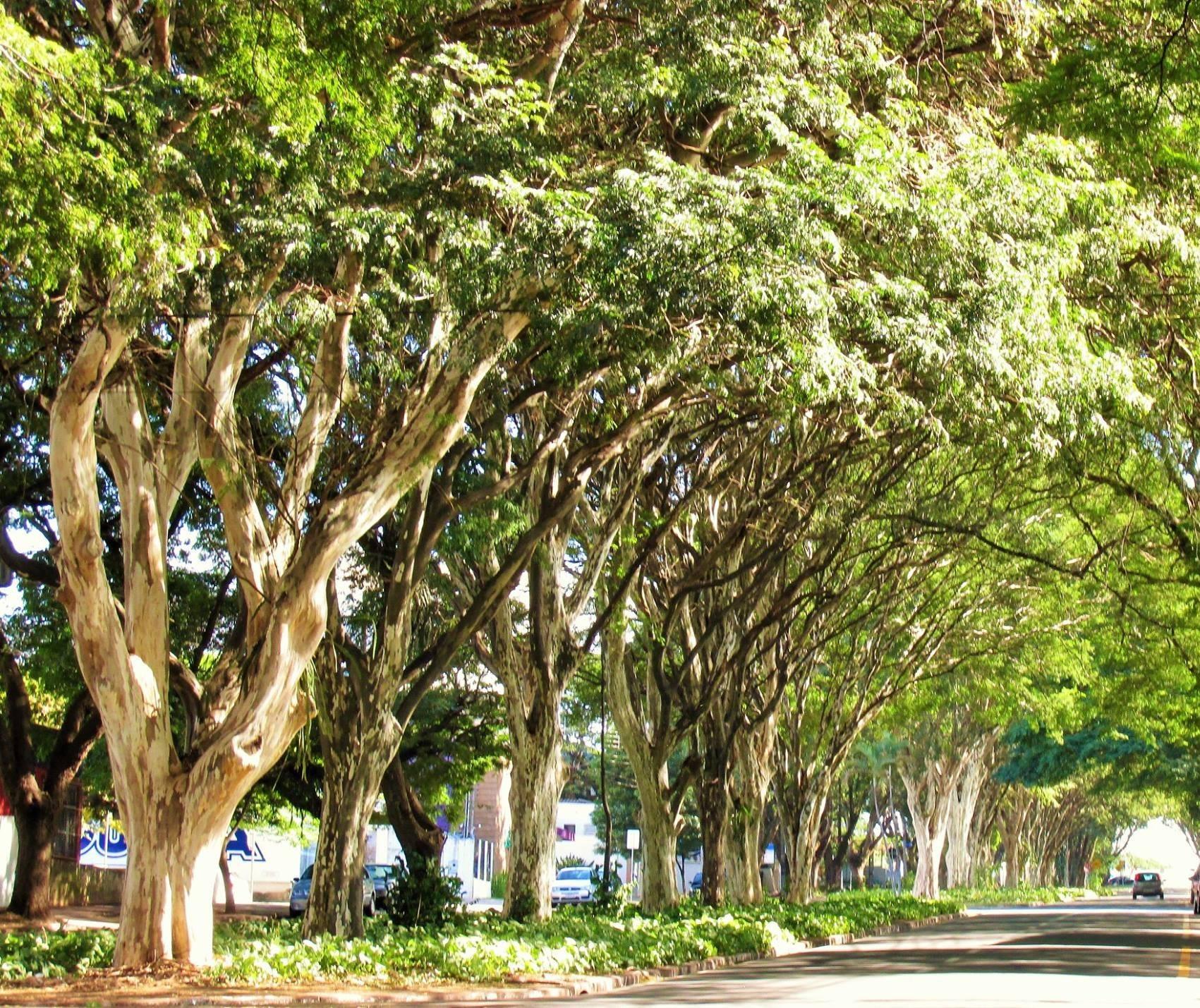 Árvores maringaenses; prejuízos e benefícios