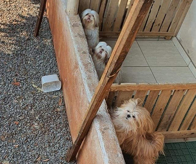 ONG resgata 40 cães de raça em criadouro clandestino em Sarandi