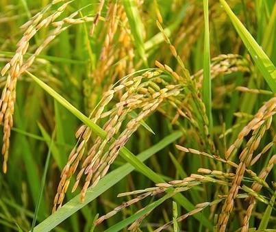 Comercialização do arroz  segue lenta