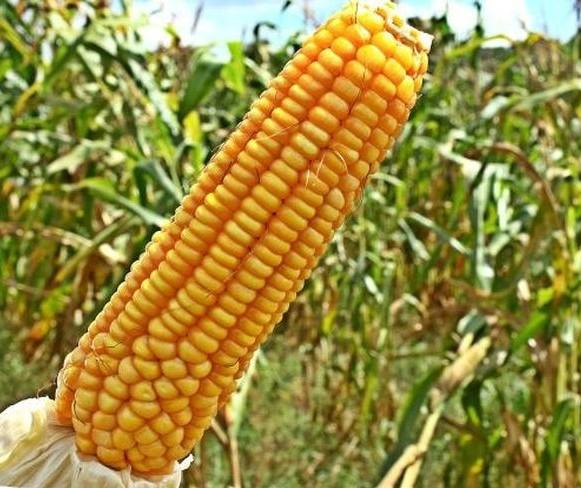 Sobem os preços das cotações do milho no mercado interno