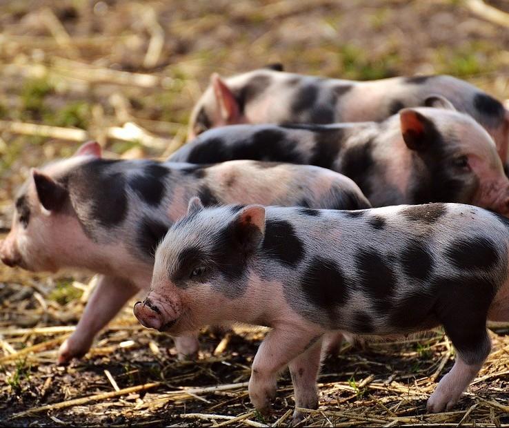 Indústria farmacêutica inova na vacinação de suínos
