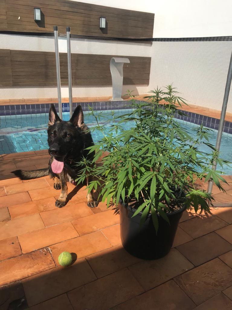 Cão farejador ajudou a encontrar drogas pela casa e o pé de maconha (Foto: Divulgação/Denarc)