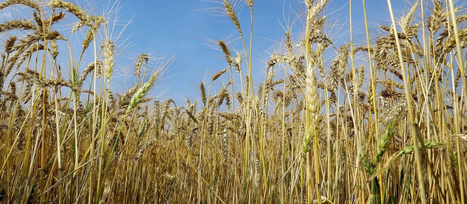 Reunião do trigo e triticale 2021 recebe trabalhos de pesquisa