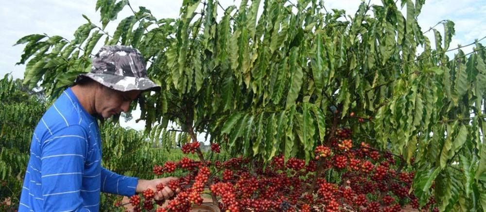 25% da área de café já foi colhida no Paraná