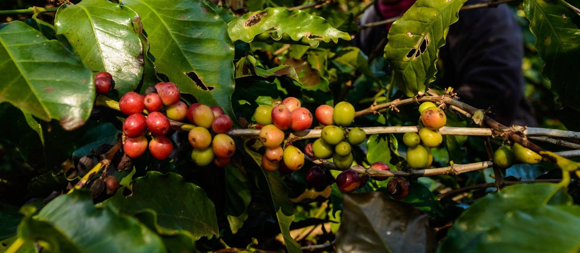 Frio intenso pode causar prejuízos em lavouras de café