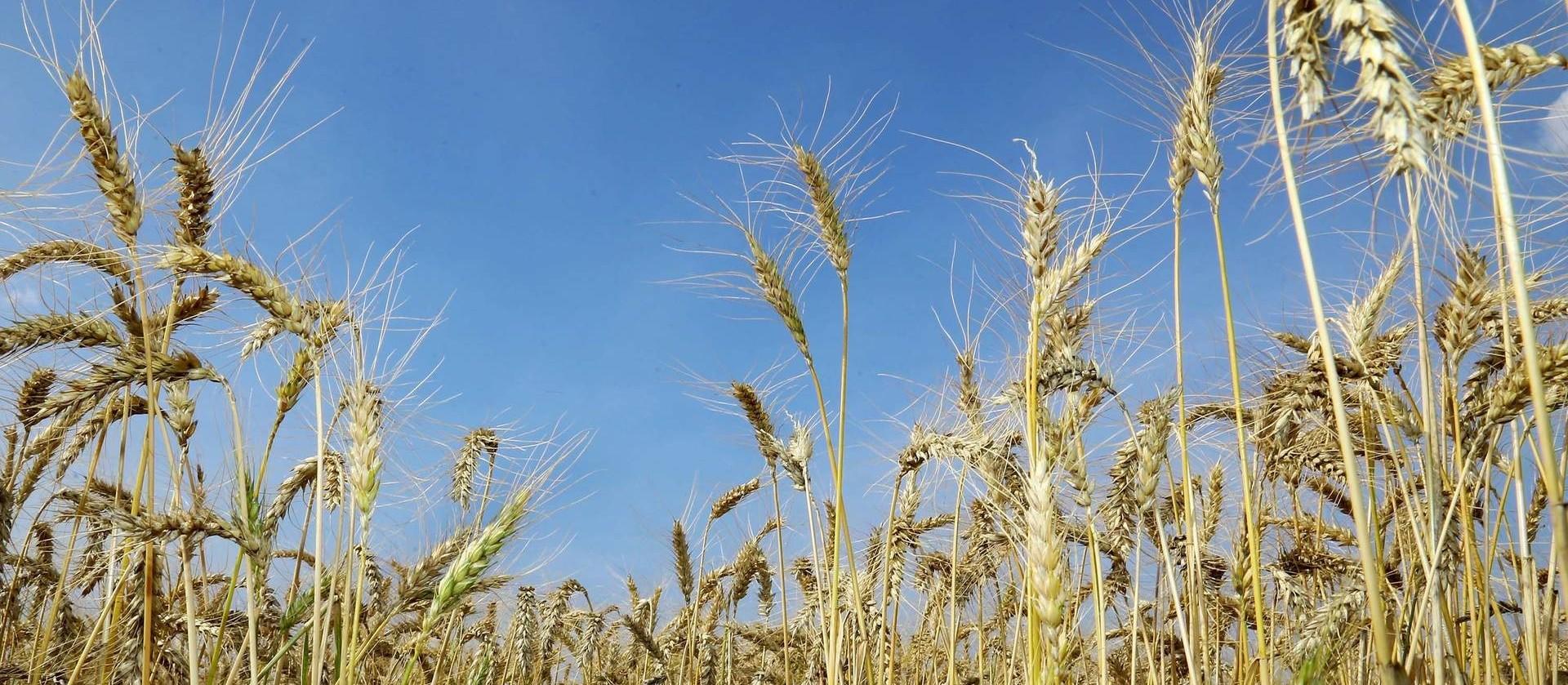 Clima ensolarado acelera colheita do trigo