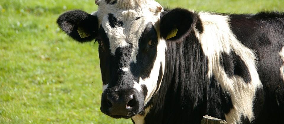 Vaca gorda custa R$ 132 a arroba em Maringá