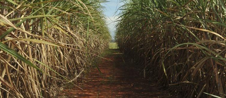 Alcopar divulga estimativa de preço da cana-de-açúcar referente a janeiro de 2020