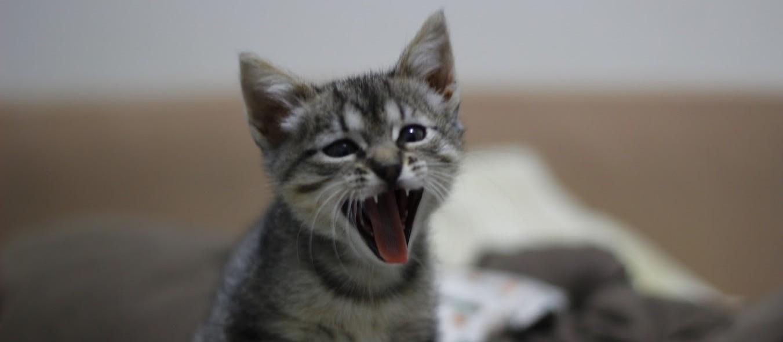 Arranhadura de gato pode causar doença