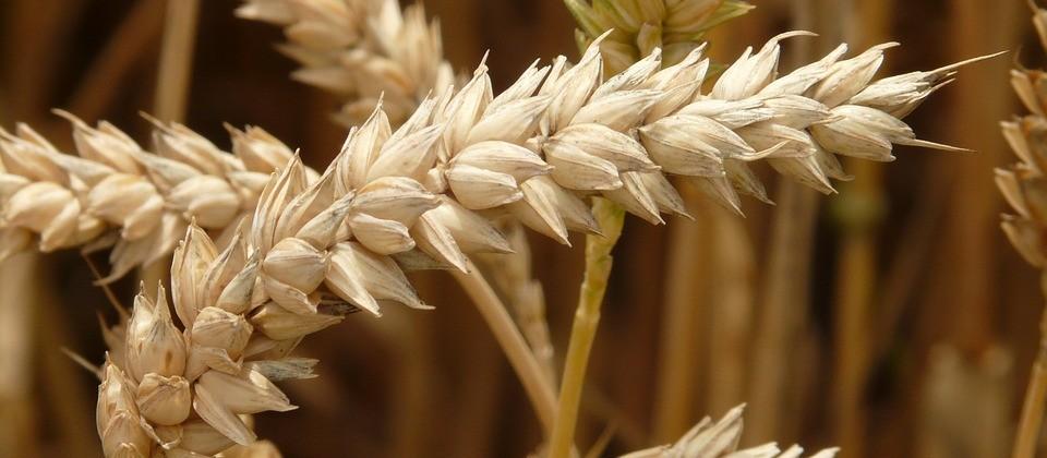 Saca do trigo custa R$ 51 na região de Maringá