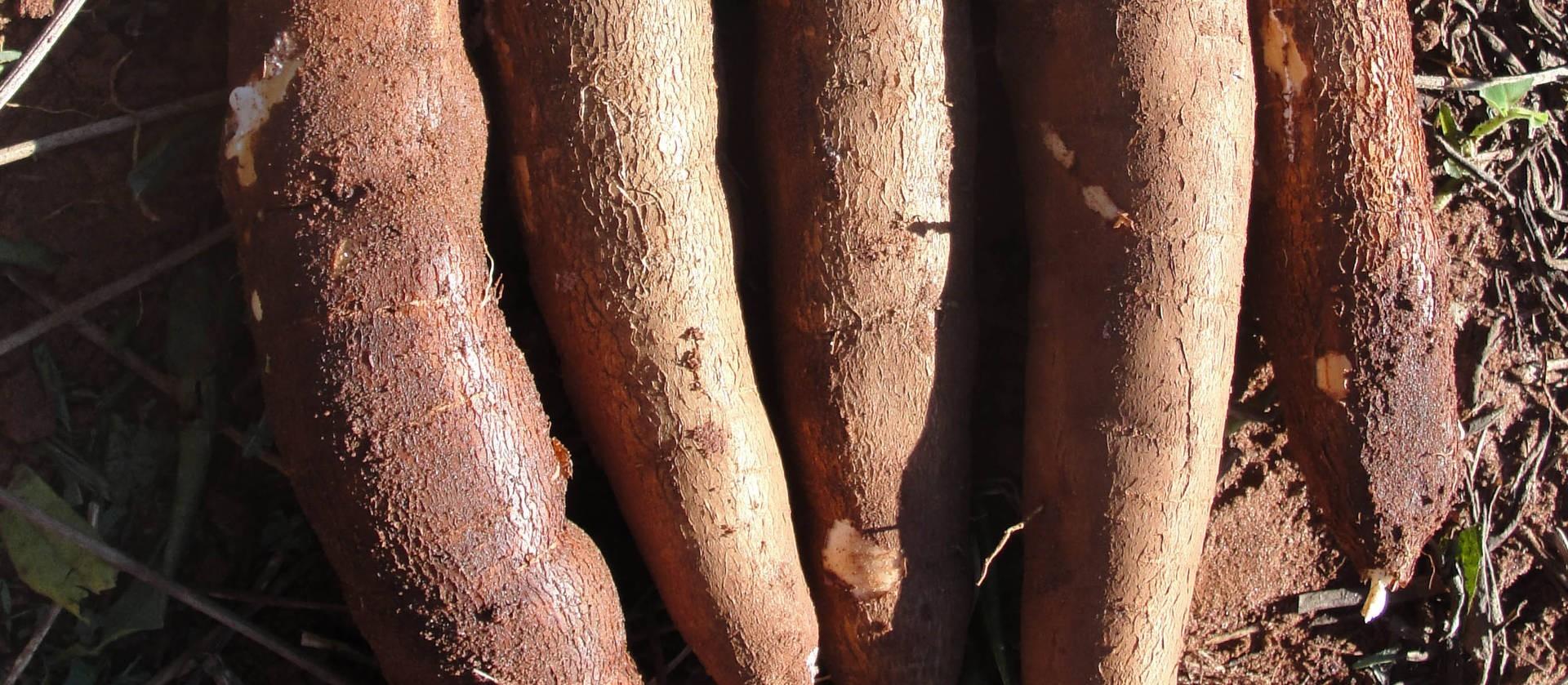 Setor de fécula de mandioca se reinventou durante a pandemia