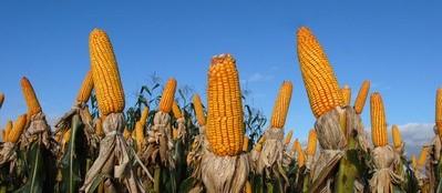 Cotação do milho fecha quarta-feira em recuo na B3