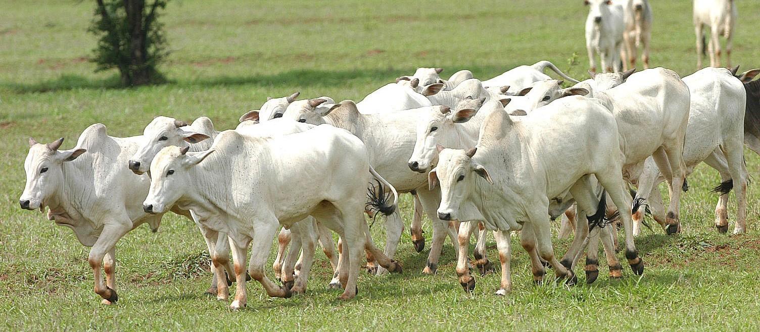 Boi gordo custa R$ 142 a arroba na região de Maringá