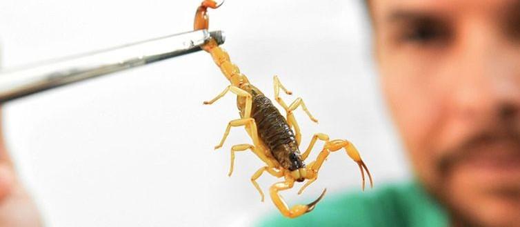 Ouvidoria registra 1.079 reclamações de escorpiões em casas
