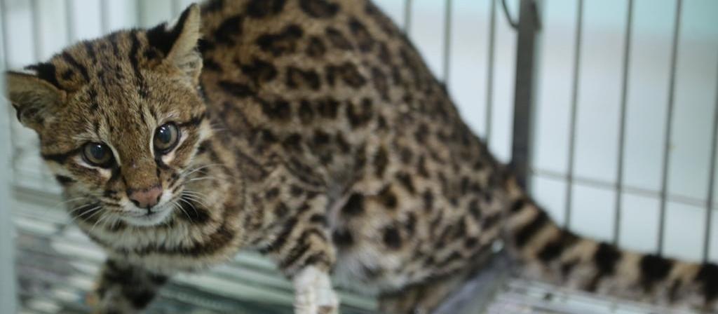 Jaguatirica atropelada em Mandaguari é solta após receber tratamento