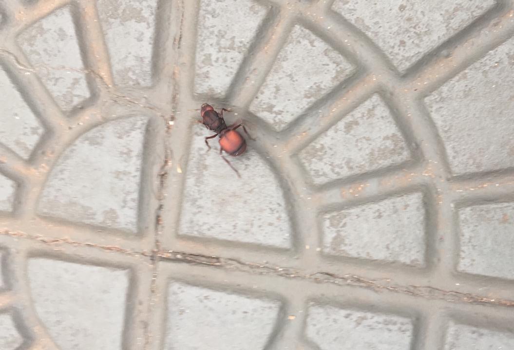 """Calor expulsa formigas """"gigantes"""" de tocas para praças de Maringá"""