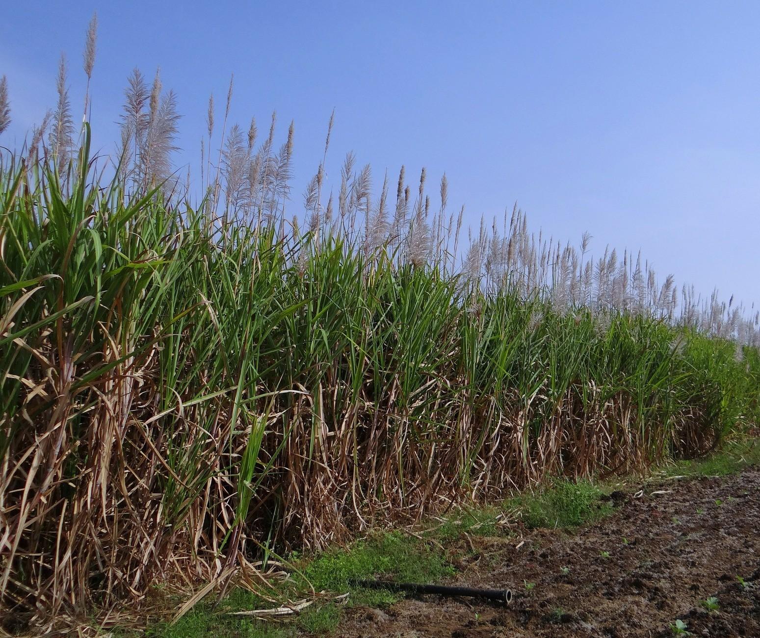 Brasil deve ter produção recorde de 39,3 mi de toneladas de açúcar