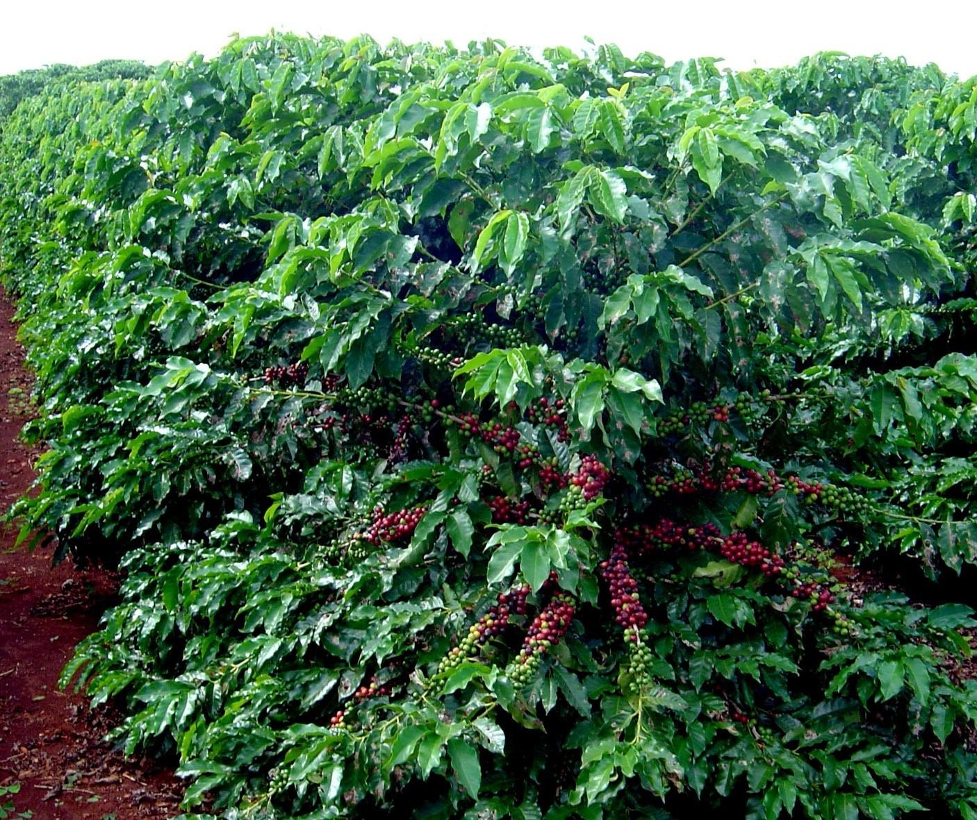 Preço do café em coco subiu