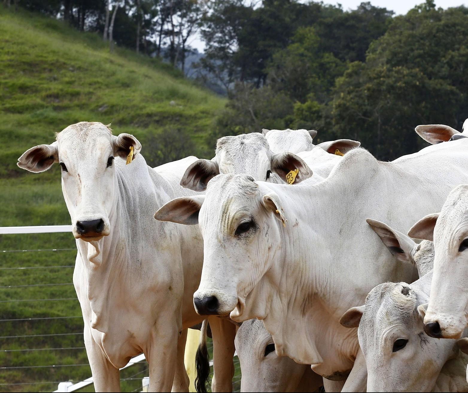 Preços do boi gordo voltam a registrar estabilidade nas praças brasileiras