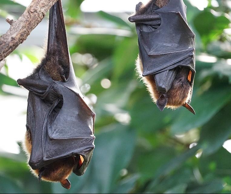 Saúde confirma vírus de raiva em morcego encontrado na Vila Operária