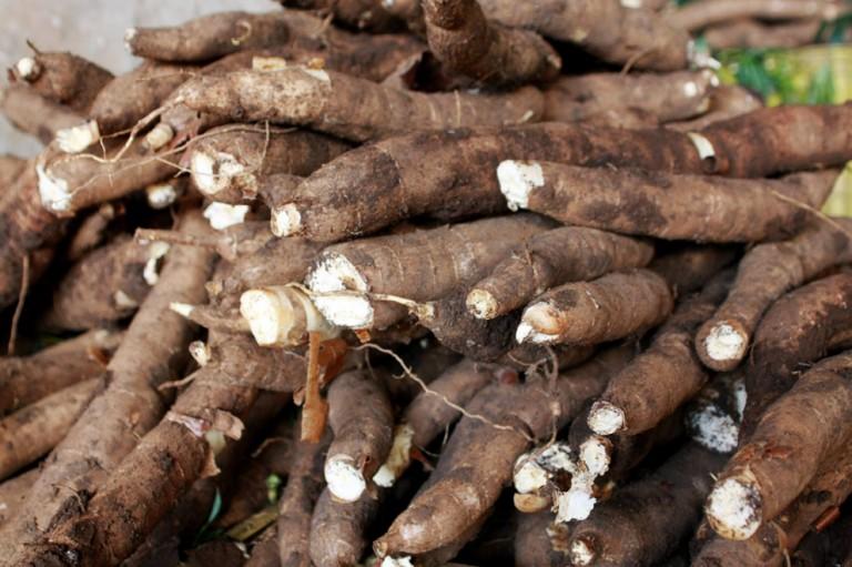 Produtores de raíz de mandioca adiam vendas esperando por melhores preços