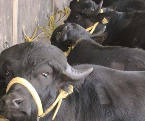 Estudos mostram que a carne de búfalo é quase 50% mais magra do que a bovina