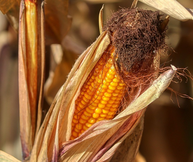 Preço do milho já subiu 60% em um ano e pode ter mais altas