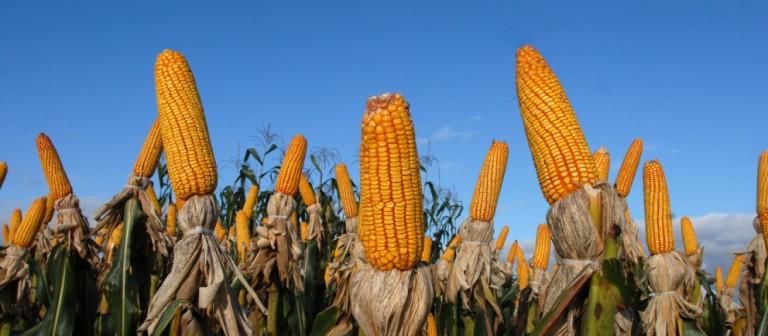 Preços do milho seguem em queda na maioria das praças